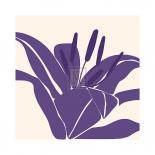 Lily Purple