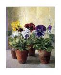 Pansies in Flower Pots